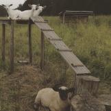 kozy a ovce